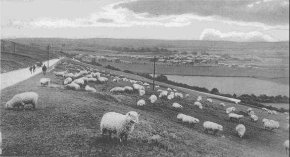 sheep grazing in 1910